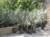 Olive trees ready to go