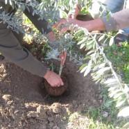 Olive Tree Planting