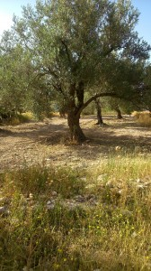 Ancient Olive trees in Sabastiya